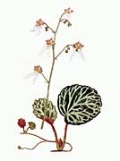 William Curtis Strawberry Saxifrage
