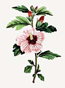 William Curtis Syrian Hibiscus