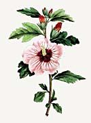 William Curtis Syrian Hibiscus