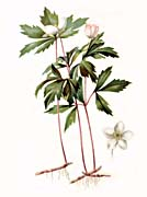 Thomas Meehan Wood Anemone
