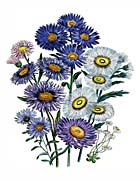 Jane Loudon Daisies And Asters