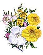 Jane Loudon Evening Primrose