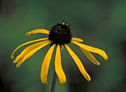 U S Fish and Wildlife Service Coneflower With Bee