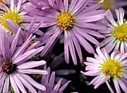 U S Fish and Wildlife Service Aromatic Asters