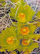U S Fish And Wildlife Service Barrel Cactus