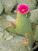 U S Fish And Wildlife Service Beavertail Cactus canvas prints