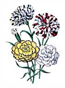 Jane Loudon Picotees And Carnations