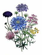 Jane Loudon Pincushion Flowers