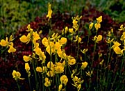 U S Fish and Wildlife Service Bladder Flowers
