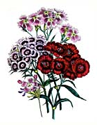 Jane Loudon Pink Flower
