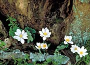 U S Fish and Wildlife Service Bloodroot Flowers