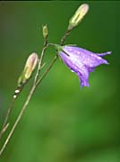 U S Fish and Wildlife Service Bluebell Flower