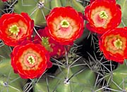 U S Fish And Wildlife Service Claret Cup Cactus Close-Up