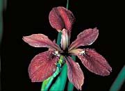 U S Fish and Wildlife Service Copper Iris
