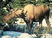U S Fish And Wildlife Service Grazing Moose