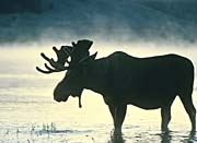 U S Fish and Wildlife Service Silhouette of Moose Bull