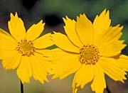 U S Fish and Wildlife Service Eared Coreopsis