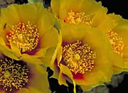 U S Fish and Wildlife Service Eastern Prickly Pear Cactus Flowers