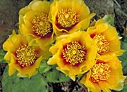 U S Fish and Wildlife Service Eastern Prickly Pear Cactus