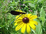 U S Fish and Wildlife Service Ebony Jewelwing on Black-Eyed Susan