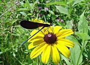 U S Fish And Wildlife Service Ebony Jewelwing on Black-Eyed Susan