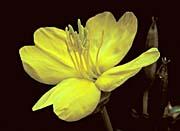 U S Fish and Wildlife Service Evening Primrose Flower
