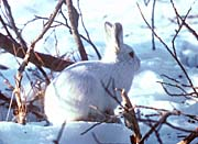 U S Fish And Wildlife Service Artic Hare Rabbit canvas prints