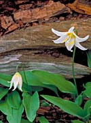 U S Fish And Wildlife Service Glacier Lily canvas prints