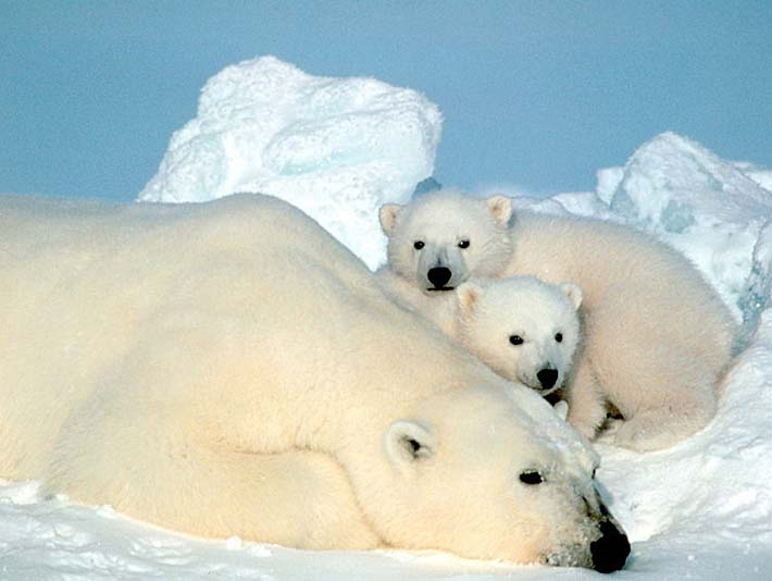 U S Fish and Wildlife Service Polar Bear with Cubs stretched canvas art print