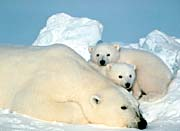 U S Fish And Wildlife Service Polar Bear With Cubs canvas prints