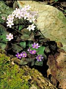 U S Fish And Wildlife Service Hepatica canvas prints