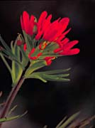 U S Fish and Wildlife Service Red Indian Paintbrush