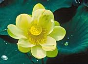 U S Fish and Wildlife Service Lotus Flower