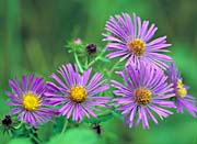 U S Fish and Wildlife Service New England Aster
