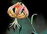 U S Fish And Wildlife Service Nodding Spotted Red Trillium