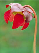 U S Fish and Wildlife Service Pitcher Plant