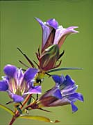 U S Fish And Wildlife Service Prairie Gentian canvas prints
