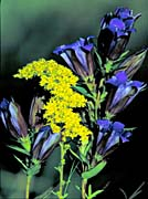 U S Fish and Wildlife Service Prairie Gentian and Grey Goldenrod