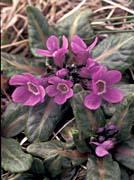 U S Fish and Wildlife Service Pribilof Wildflowers, Primula