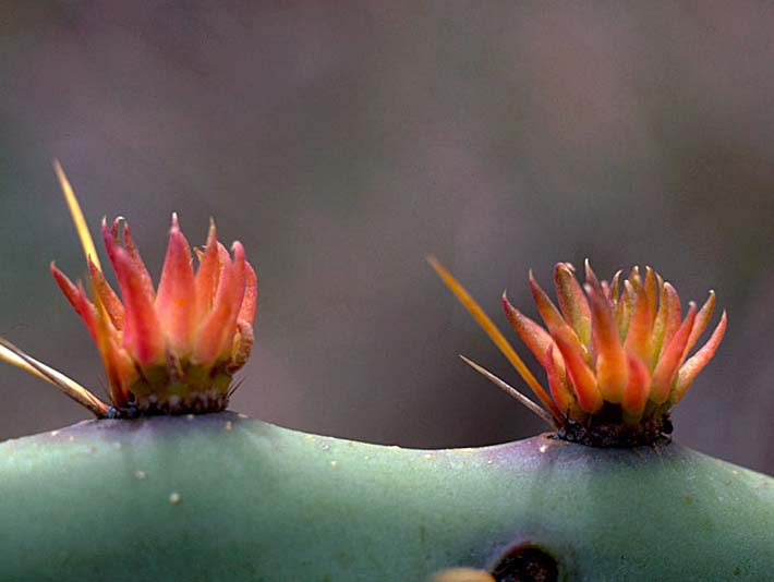 U S Fish and Wildlife Service Sideview of Prickly Pear Cactus stretched canvas art print