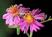 U S Fish and Wildlife Service Silky Aster