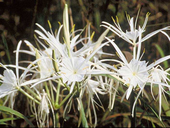 U S Fish and Wildlife Service Spider Lily stretched canvas art print