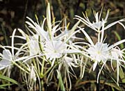 U S Fish And Wildlife Service Spider Lily canvas prints