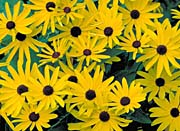 U S Fish and Wildlife Service Sweet Black-Eyed Susan