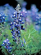 U S Fish and Wildlife Service Texas Bluebonnet