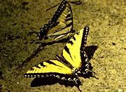 U S Fish And Wildlife Service Tiger Swallowtail Butterfly canvas prints