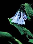 U S Fish And Wildlife Service Virginia Bluebells canvas prints