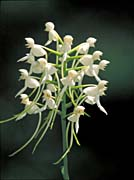 U S Fish and Wildlife Service White Fringeless Orchid