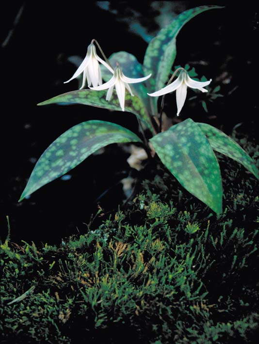 U S Fish and Wildlife Service White Trout Lily stretched canvas art print