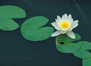 U S Fish And Wildlife Service White Water Lily canvas prints